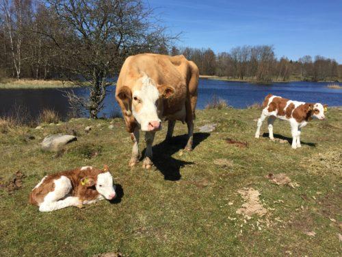 Ko med två kalvar